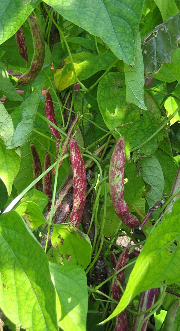 Gemüse-Info - Bohnen im Garten