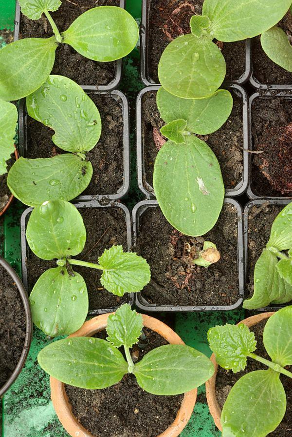 Extrem Gemüse-Info - Zucchini im Garten ZO42